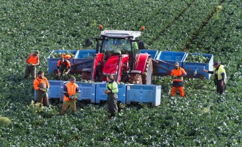 Tractor in a green field of broccoli ready to be harvested with farm hands helping