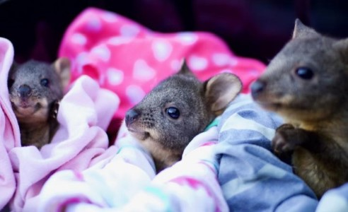 Three baby pademelons wrapped in cuddle blankets