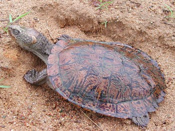Freshwater Turtles Department Of Primary Industries Parks Water And Environment Tasmania