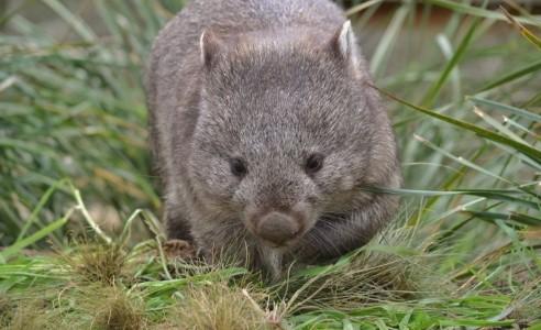 wombat walking towards the camera through low grass