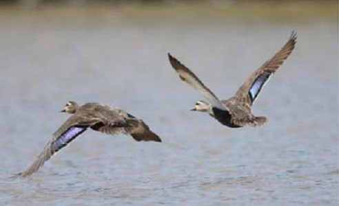 Two Tasmanian black ducks flying low over water