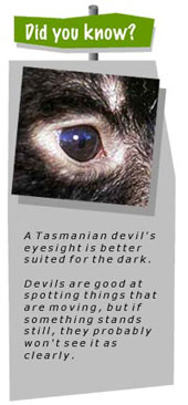 Tasmanian Devil Facts for Kids